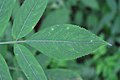 Sambucus chinensis in Wuyishan Chengcun 2012.08.24 08-30-46.jpg