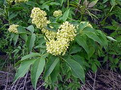 Sambucus racemosa (1).jpg