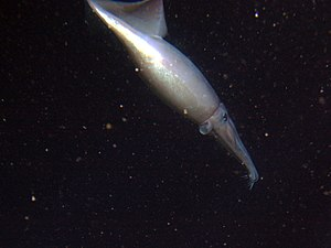 Humboldt squid - Humboldt squid photographed at a depth of 250 meters off California