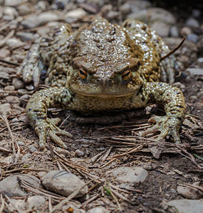 Common toad (Bufo bufo), Hartelholz, Munich, Germany