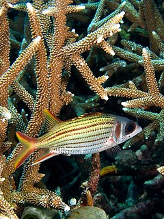 Sargocentron microstoma (Smallmouth squirrelfish) in Acropora formosa (Staghorn coral)