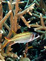 Sargocentron microstoma (Smallmouth squirrelfish) in Acropora formosa (Staghorn coral).jpg