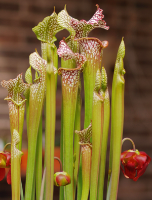 English: Sarracenia leucophylla (pitcher plant...