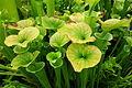 Sarracenia flava - Conservatory of Flowers - San Francisco, CA - DSC03156.JPG