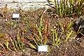 Sarracenia flava - Orto botanico - Rome, Italy - DSC09965.jpg