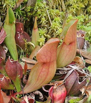 Brown's Lake Bog - Image: Sarracenia purpurea pitchers Brown's Lake Bog
