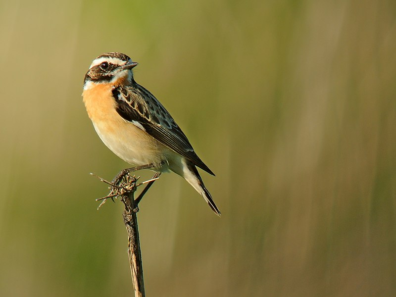 A male Whinchat in Belgium.