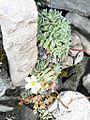 Saxifraga paniculata Mill Vanoise.JPG