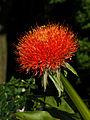 Scadoxus multiflorus Blutblume 01.jpg
