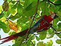 Scarlet Macaw (Ara macao) (6972881148).jpg