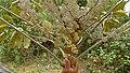 Schefflera morototoni (Aubl.) Maguire, Steyerm. & Frodin (8182032938).jpg