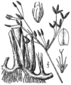 Schoenoplectus acutus var occidentalis BB-1913.png