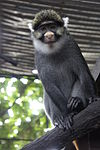 Sclater's guenon