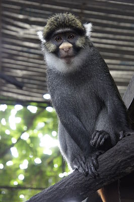Sclater's guenon (Cercopithecus sclateri) at CERCOPAN sanctuary.JPG