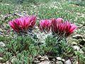 Sclerocactus nyensis fh 108 NV B.jpg
