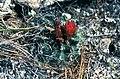 Sclerocactus spinosior fh 69 8 UT B.jpg