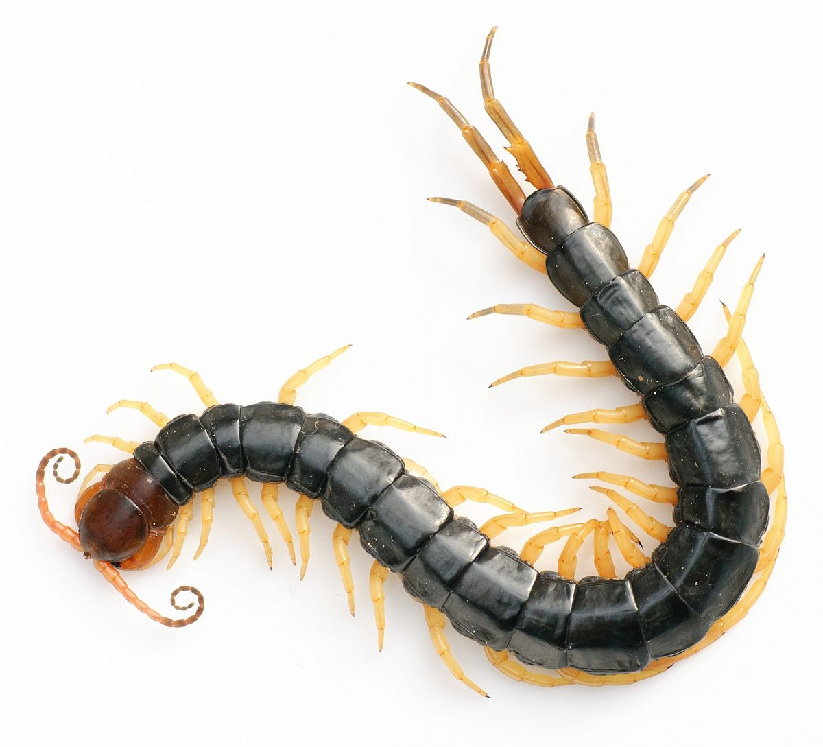 How does scolopendra look and is it dangerous for a person