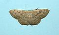 Scopula sp. (Geometridae) Moth @ Kanjirappally.jpg