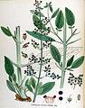 Scrophularia balbisii — Flora Batava — Volume v17.jpg