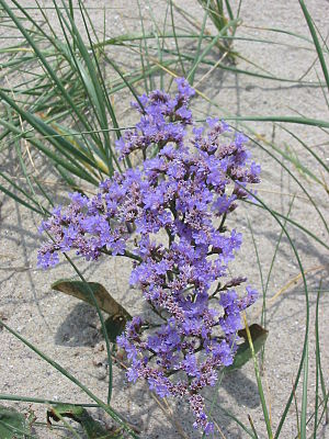 Zwin - Sea lavender blossoms in August–September