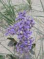 Sea lavender.JPG