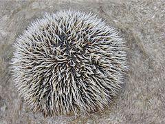 Sea urchin 1.jpg