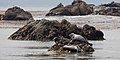 Seals in Estero Bay (California).jpg
