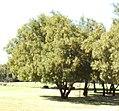 Searsia leptodictya, Magaliespark.jpg