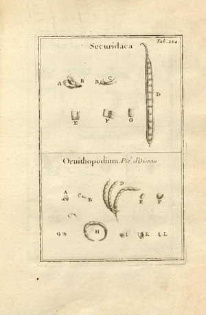 Cleome ornithopodioides - Illustration 1700