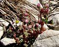 Sedum dasyphyllum PID1848-7.jpg