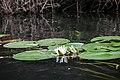 Seerosen im Spreewald - Flickr - blumenbiene (2).jpg