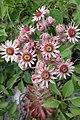 Sempervivum tectorum, familija Crassulaceae 03.jpg