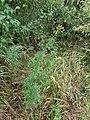Senecio erucifolius sl1.jpg