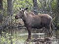 Seney National Wildlife Refuge - Wildlife (9705422754).jpg