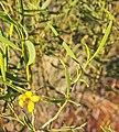 Senna artemisioides spp petiloaris flower.jpg