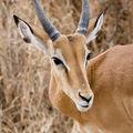Serengeti Impala1.jpg