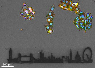 Focused ion beam - Correlative Light-Ion Microscopy of cells on glass. Color image obtained by fluorescence microscope, black-and-white image obtained by Scanning Ion Microscope and London skyline milled by Focused Ion Beam.