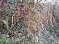 Setaria italica subsp. italica sl5.jpg