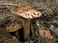 Setas - Tricholoma (6630215669).jpg