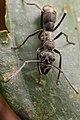 Shattuck 52555, Diacamma, Danum Valley, Sabah-web (5042337553) (2).jpg
