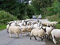 Sheep On The Move - geograph.org.uk - 1406810.jpg