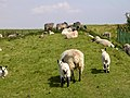 Sheep resting in the shade of the radio mast, Butser Hill - geograph.org.uk - 26194.jpg
