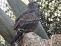 Short-toed Eagle 09.jpg