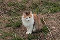 Siberian cat (clouded tiger coat coloring).jpg