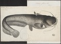 Silurus glanis - 1700-1880 - Print - Iconographia Zoologica - Special Collections University of Amsterdam - UBA01 IZ14600029.tif