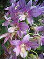 Singapur Orchideen.JPG
