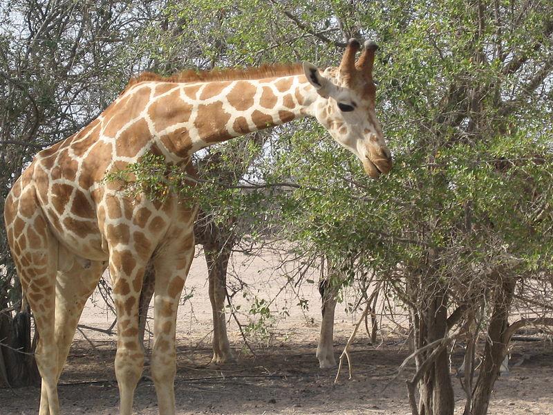 File:Sir Bani Yas -Giraff (2).JPG