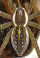 Six-spotted Fishing Spider - Dolomedes triton, Patuxent National Wildlife Refuge, Laurel, Maryland.jpg