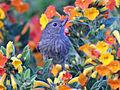 Slaty Flowerpiercer RWD5.jpg
