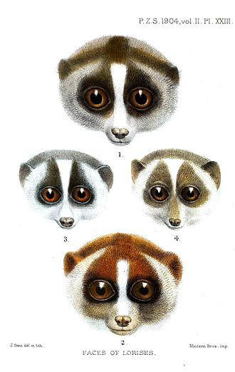 Slow loris - Coloration patterns around the eyes differ between the slender lorises (middle two) and the slow lorises (top and bottom).